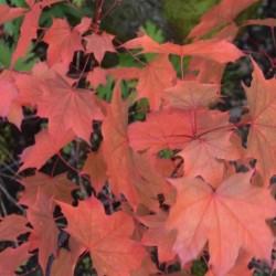 Acer plat. x amp. 'Ample Surprise' - autumn colour