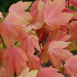 Acer pseudoplatanus 'Brilliantissimum' - spring leaves
