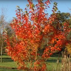 Acer rubrum 'Brandywine'