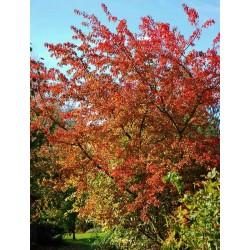 Acer tatarica  ssp ginnala