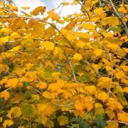 Acer tegmentosum - autumn colour