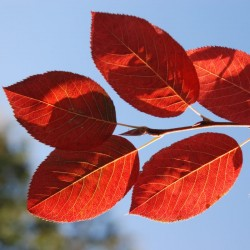 Amelanchier x grandiflora 'Robin Hill' - autumn colour