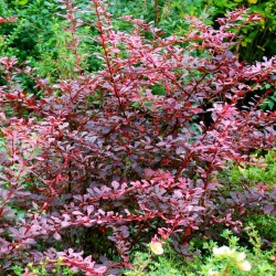 Berberis thunbergii 'Rose Glow'