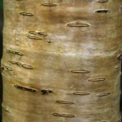 Betula medwedewii 'Gold Bark'