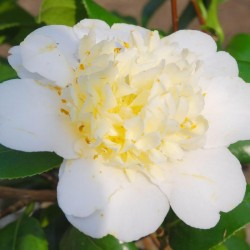 Camellia japonica 'Brushfield Yellow' - flower close up