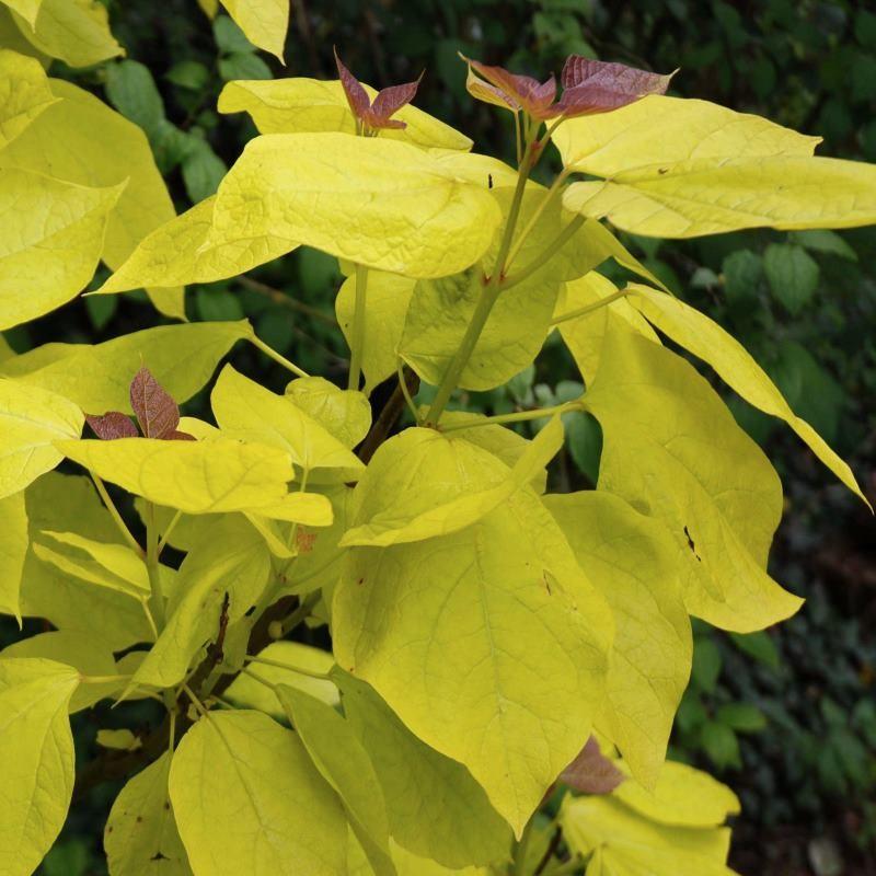 Catalpa bignonioides 'Aurea'