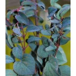Cercidiphyllum japonicum 'Rotfuchs' - summer foliage colour