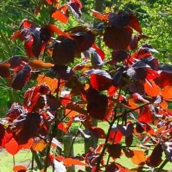 Corylus colurna 'Te Terra Red'