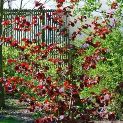 Corylus x 'Red Zellernus'