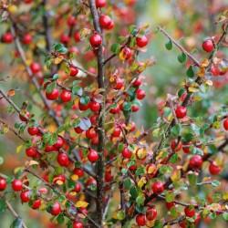 Cotoneaster cuspidatus