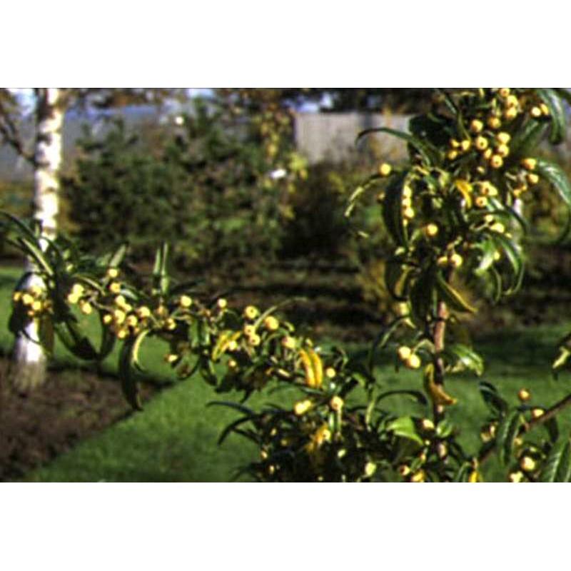 Cotoneaster salicifolius 'Rothschildianus'