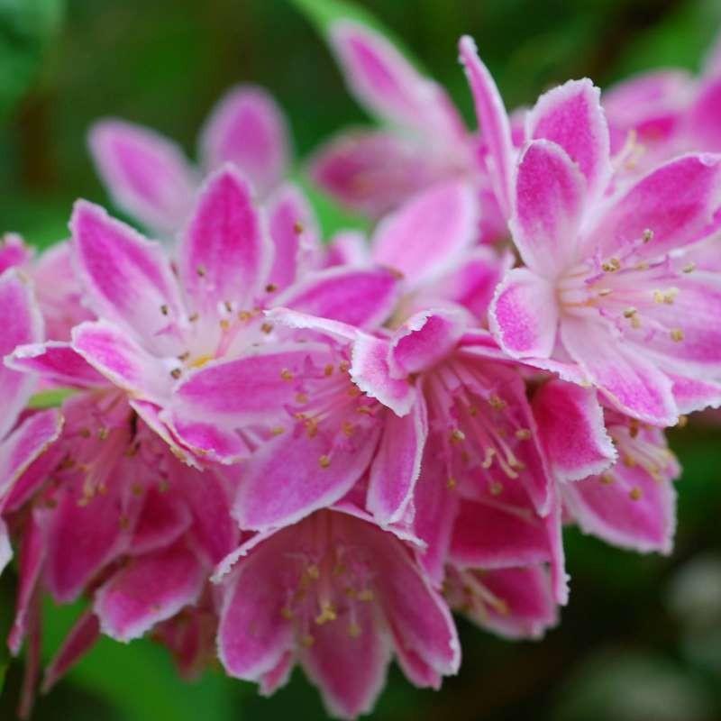 Deutzia x hybrida 'Strawberry Fields' - close up of flowers