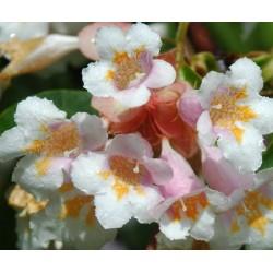 Dipelta floribunda - summer flowers (close up)