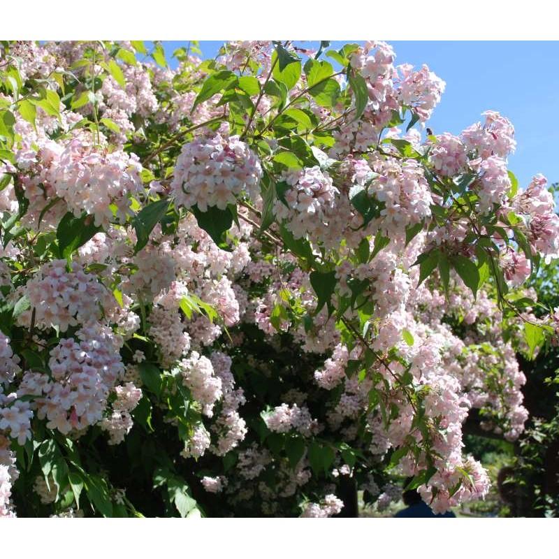 Dipelta floribunda - summer flowers