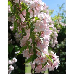 Dipelta floribunda - summer flowers (2)