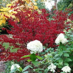 Euonymus alatus - autumn colour (2)