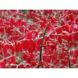 Euonymus alatus 'Compactus' - autumn colour