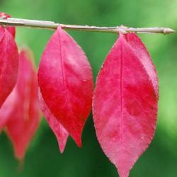 Euonymus alatus 'Compactus' - autumn colour close up