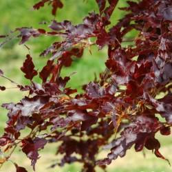 Fagus sylvatica 'Rohan Red Weeping'