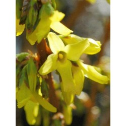 Forsythia x intermedia 'Goldrausch'