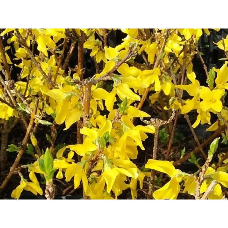 Forsythia x intermedia 'Mini-Gold'