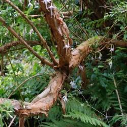 Fuchsia magellanica var molinae