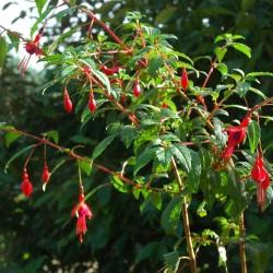 Fuchsia magellanica 'Mrs. P. Wood'