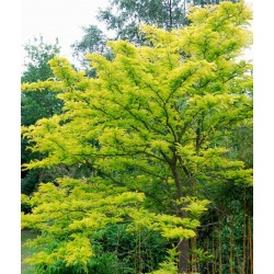 Gleditsia triacanthos 'Sunburst' - mature tree