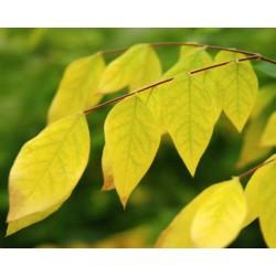 Gymnocladus dioica - close up of autumn colour