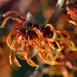 Hamamelis x intermedia 'Spanish Spider'