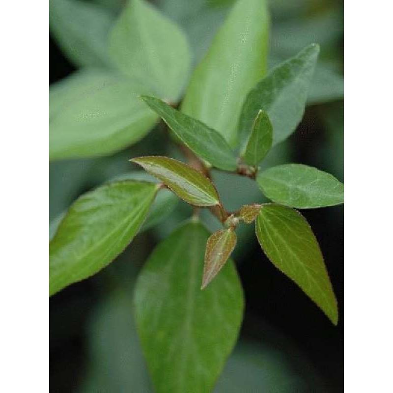 Hedera nepalensis
