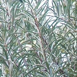 Hippophae rhamnoides 'Pollmix' (Male)