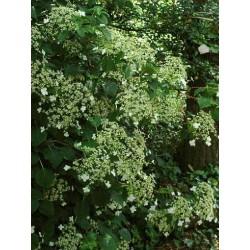 Hydrangea anomala subsp petiolaris