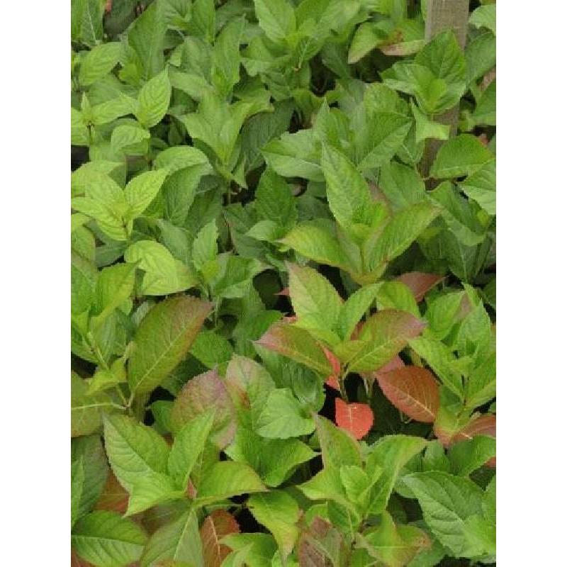 Hydrangea macrophylla 'Jogasaki'