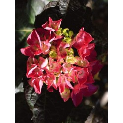 Hydrangea macrophylla 'Merveille Sanguine' - summer flowers
