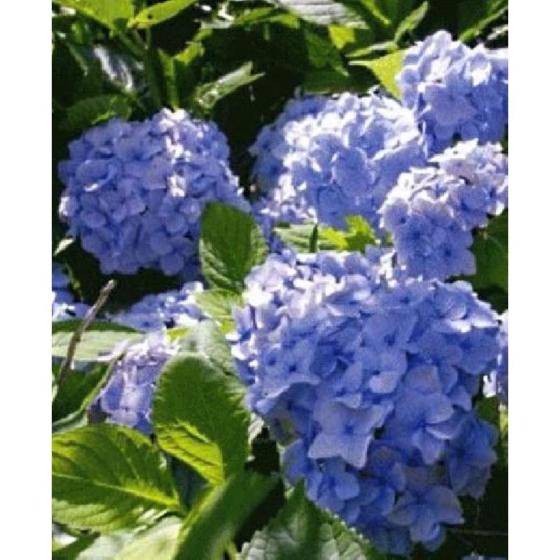 Hydrangea macrophylla 'Nikko Blue' - summer flowers