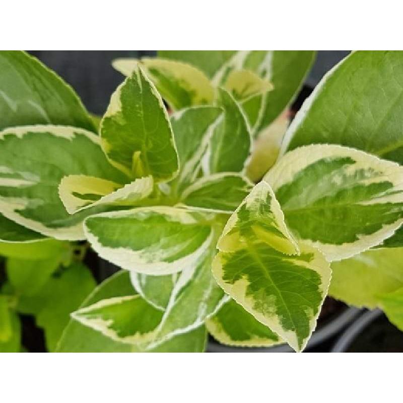 Hydrangea macrophylla 'Quadricolor'