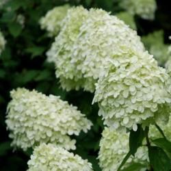 Hydrangea paniculata 'Limelight' - summer flowers
