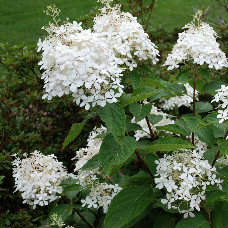 Hydrangea paniculata 'Phantom' - summer flowers