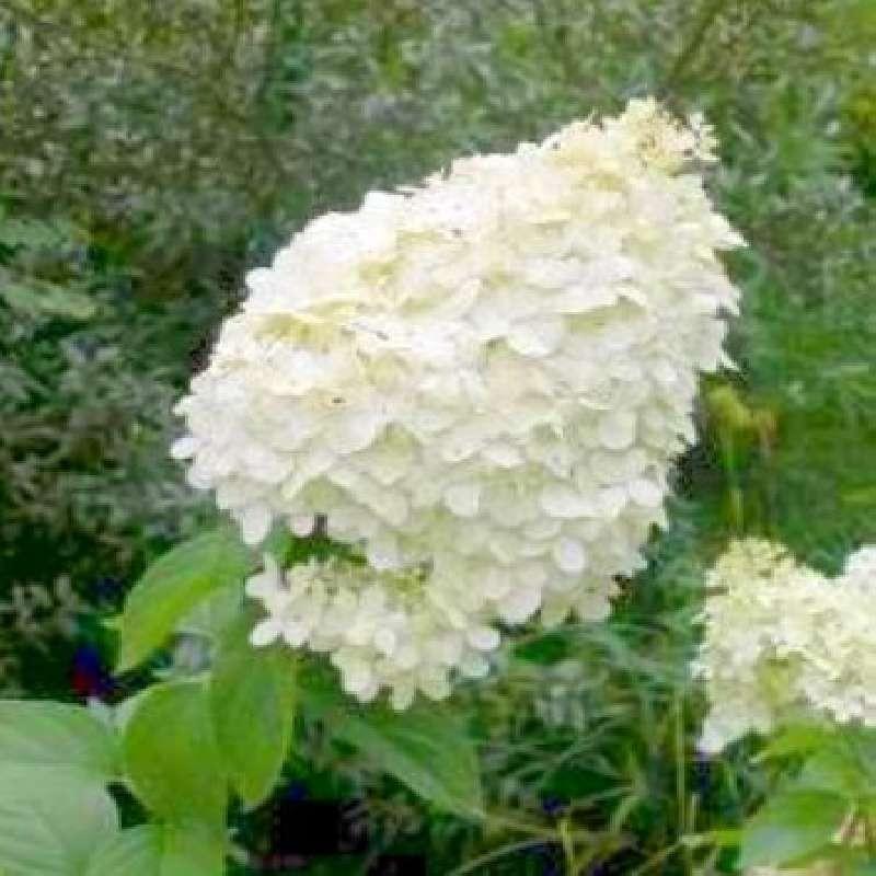 Hydrangea paniculata 'Polar Bear' - summer flowers
