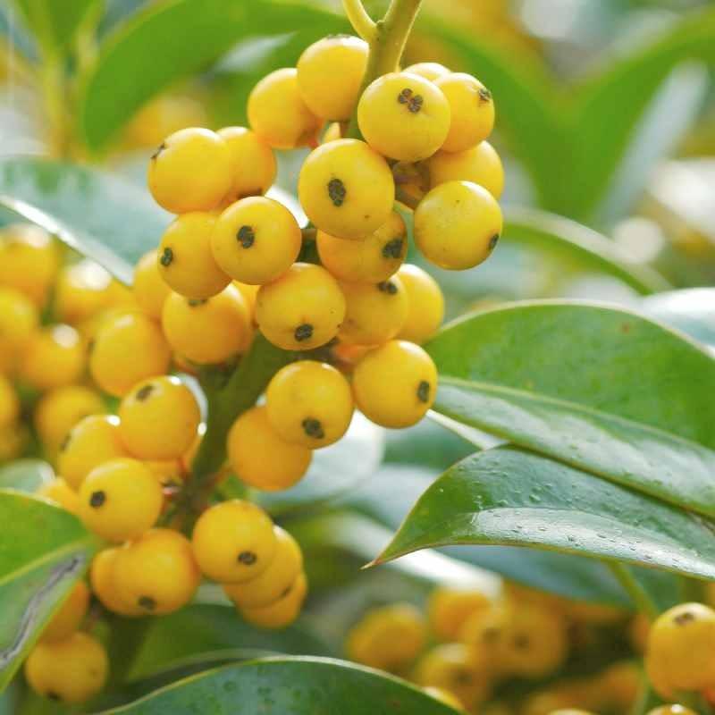 Ilex aquifolium 'Bacciflava' - winter berries