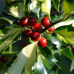 Ilex aquifolium 'Calypso'