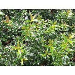 Ilex aquifolium 'Myrtifolia'