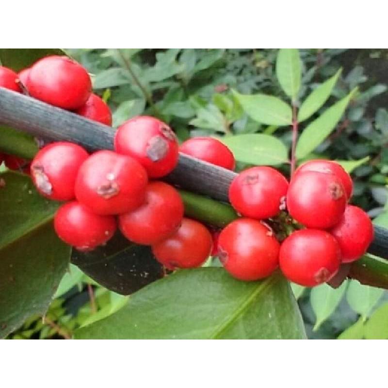 Ilex colchica - berries