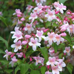 Kolkwitzia amabilis 'Pink Cloud' - summer flowers