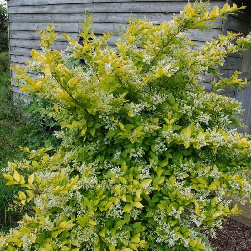 Ligustrum x vicaryi - flowers in late spring