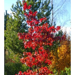 Liquidambar styraciflua 'Festival' - red autumn colour