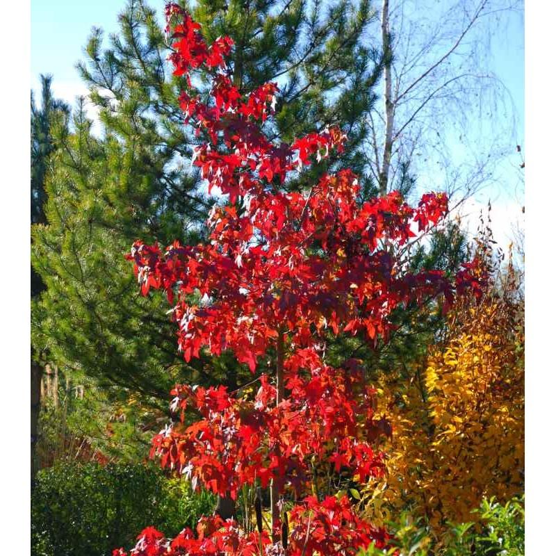 Liquidambar styraciflua 'Festival' - red autumn colour