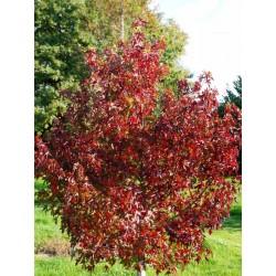Liquidambar styraciflua 'Stella' - autumn colour