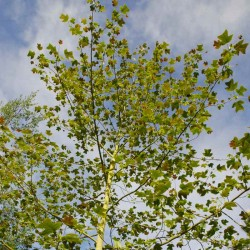 Liriodendron chinensis